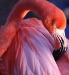 fenicottero rosa pink flamingo